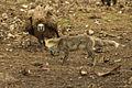 Eurasian Griffon facing Red Fox - Catalan Pyrenees - Spain S4E7915 (24590193433).jpg