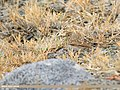 Eurasian Skylark (Alauda arvensis).jpg