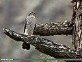 Eurasian Sparrowhawk (Accipiter nisus) (33153094232).jpg