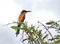European Bee-eater (Merops apiaster) (14018080594).jpg