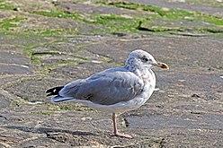 European herring gull - Wikipedia