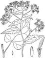 Eurybia divaricata BB-1913-3.png