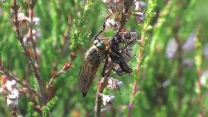 File:Eutolmus rufibarbis - 2015-06-25.webm