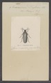 Evaniocera - Print - Iconographia Zoologica - Special Collections University of Amsterdam - UBAINV0274 028 09 0002.tif