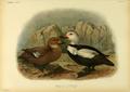 Extinctbirds1907 P36 Camptolaemus labradorius0363.png
