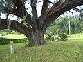 FL Volusia Oak04.jpg