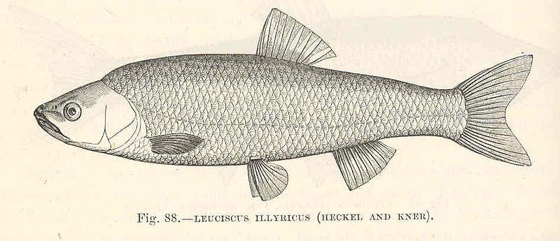 File:FMIB 48056 Leuciscus illyricus (Heckel and Kner).jpeg