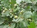 Fagales - Quercus robur - 67.jpg