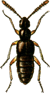 Falagriini Tribe of beetles