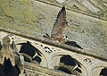 Falco peregrinus St John's Church Bath 4.jpg