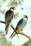Falco subbuteo NAUMANN.jpg