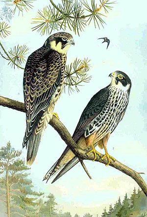 Hobby (bird) - Eurasian hobby (Falco subbuteo) showing the typical color pattern