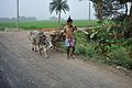 Farmer with Oxen - Indian National Highway 34 - Birohi - Nadia 2013-03-23 6942.JPG