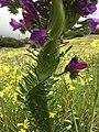Fasciation de E. plantagineum.jpg