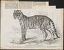 Felis tigris - 1859 - Print - Iconographia Zoologica - Special Collections University of Amsterdam - UBA01 IZ22100085.tif