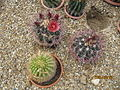 Ferocactus (3786309588).jpg