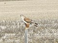 Ferruginous Hawk Chouteau County MT (39046393502).jpg