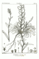 Fibigia eriocarpa.png