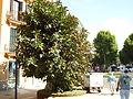 Ficus 2008 3.JPG