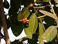 Ficus benghalensis L. (3297702072).jpg