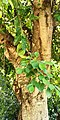 Ficus microcarpa - Stem & leaves.jpg
