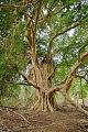 Ficus sycomorus06.jpg