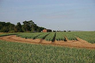 Breckland Farmland - Field of onions near Tuddenham