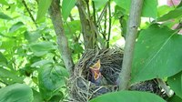 File:Fieldfare (Turdus pilaris) nest.webm