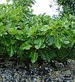 Fig tree at Crabbe Farm - geograph.org.uk - 229769.jpg