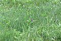 First orchid sighted (Rzy) (14533175473).jpg