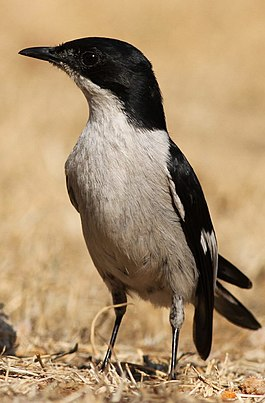 Fiscal Flycatcher, Sigelus silens - male, at Suikerbosrand Nature Reserve, Gauteng, South Africa (15533313282).jpg