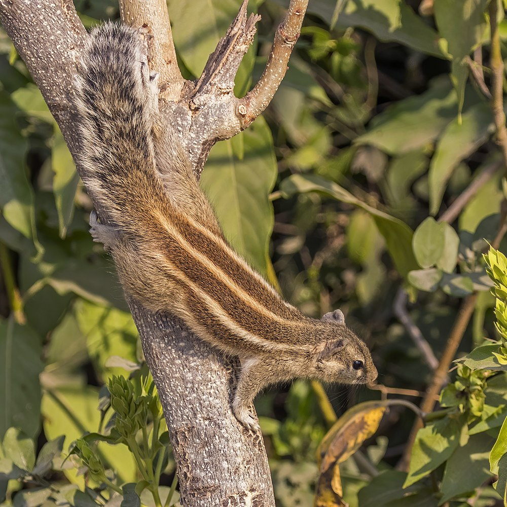 The average litter size of a Northern palm squirrel is 2