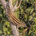 Five-striped palm squirrel (Funambulus pennantii).jpg