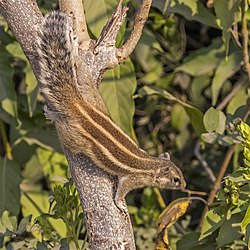 Five-striped palm squirrel (Funambulus pennantii).jpg