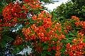 Flame Tree 鳳凰木 - panoramio.jpg