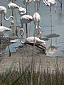 Flamingo op nest.JPG