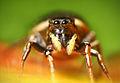 Flickr - Lukjonis - Jumping spider - Heliophanus sp. (Set of pictures).jpg