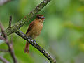 Flickr - Rainbirder - Cinnamon Becard (Pachyramphus cinnamomeus) (1).jpg