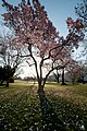 Flickr - USCapitol - Magnolias in Bloom on the Capitol Grounds.jpg