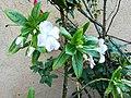 Flor del jardí del museu de Leimebamba03.jpg