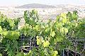 Flora of Israel IMG 1683 (11771980865).jpg