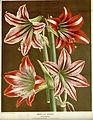 Flore des serres v16 009a.jpg