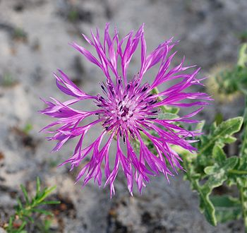 English: Centaurea sphaerocephala flower