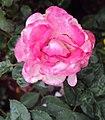 Flowers - Uncategorised Garden plants 172.JPG