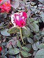 Flowers - Uncategorised Garden plants 196.JPG