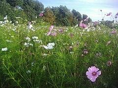 Flowers at Wimbledon Park (geograph 3134853).jpg