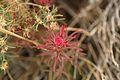 Flowers in Joshua Tree National Park (3433772262).jpg