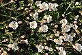 Flowers near Start Point (3148).jpg