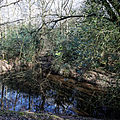 Forest pond at Gernon Bushes Nature Reserve, Coopersale Essex England 2.jpg