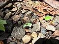 Formicidae Atta sp. 06 (1).jpg